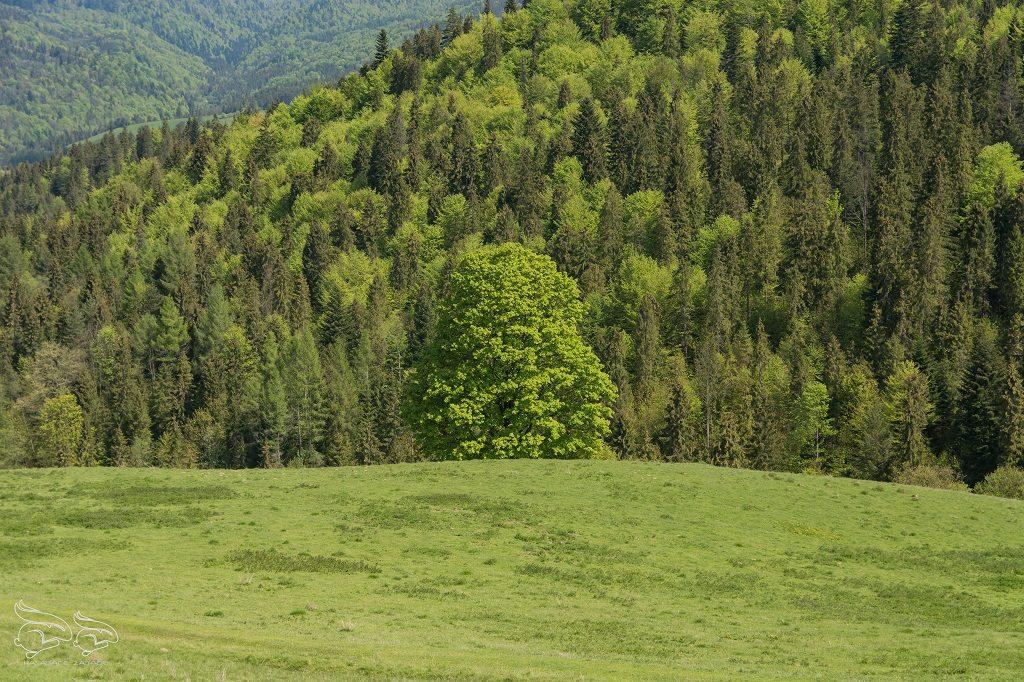 Male Pieniny - Homole Szczawnica