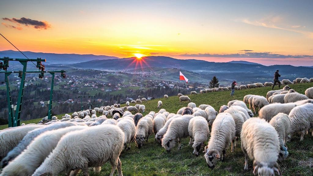 Ochodzita i owce