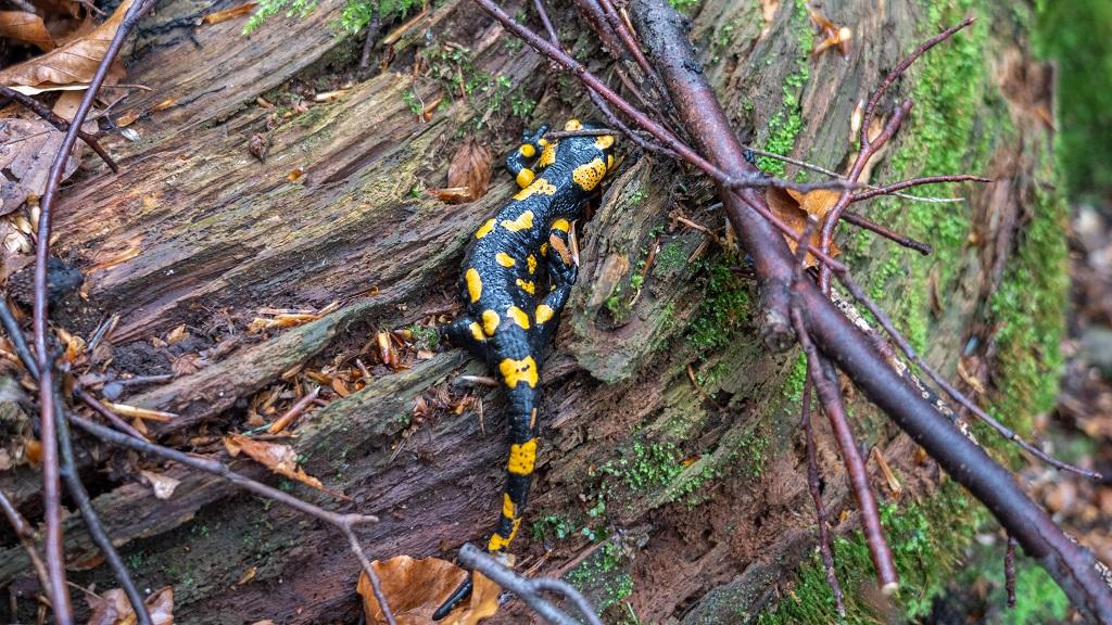 Salamandra pod Wierchomlą